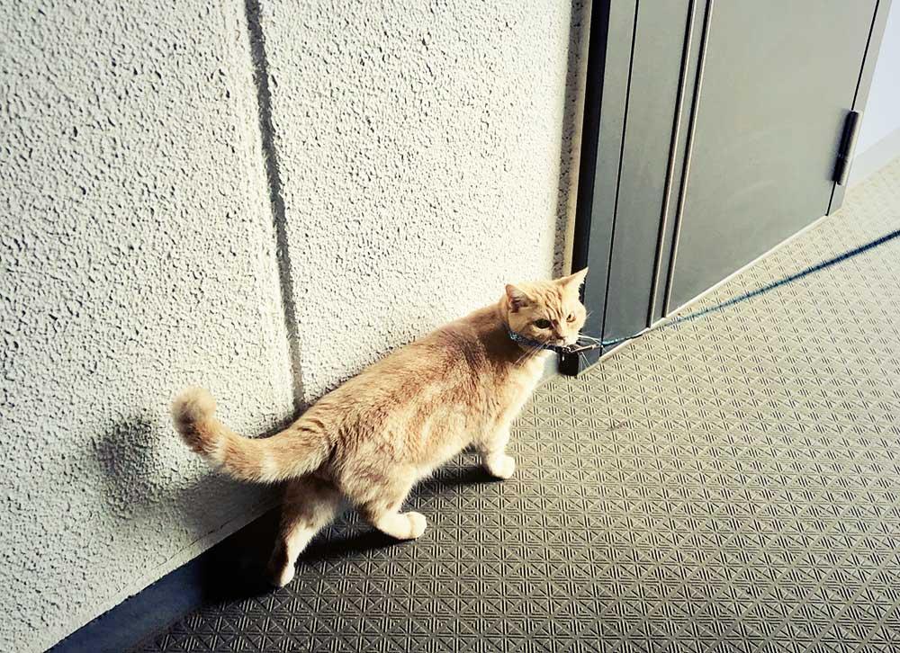 愛猫たびちゃんの猫散歩。とにかく可愛い!!