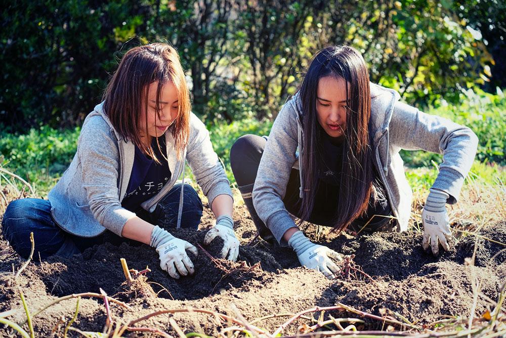 農家さんの畑で実際にさつまいも掘りを行っている様子。